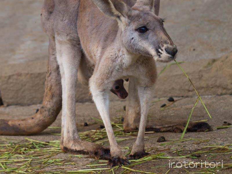 多摩動物園の野鳥 ハシブトガラス  2011/10/24 _d0146592_23484629.jpg