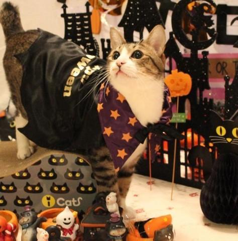 Yahoo!ペット第1回「気分はハロウィン」フォトコンテストエントリー猫 空ぽー編。_a0143140_23242526.jpg