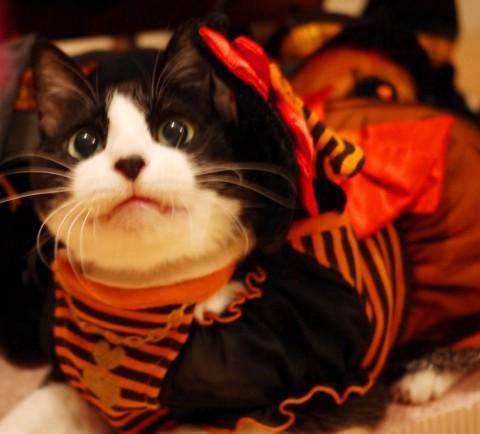 Yahoo!ペット第1回「気分はハロウィン」フォトコンテストエントリー猫 空ぽー編。_a0143140_2325267.jpg