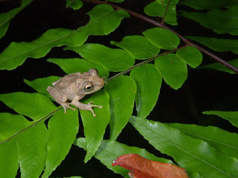 お洒落な和名の蛙 アイフィンガーガエル_b0192746_14422424.jpg
