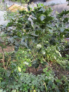 カボス収穫しました_b0214473_200156.jpg