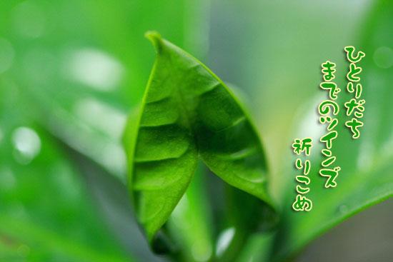 ふた葉に願いを_e0235910_794791.jpg