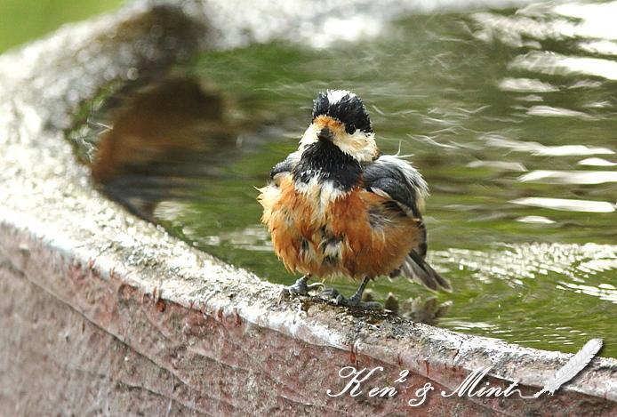 大好きな「ヤマガラ」さん水浴び♪_e0218518_2225677.jpg