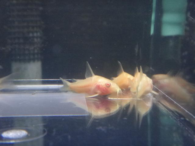 熱帯魚・水草・金魚_f0189122_1343310.jpg