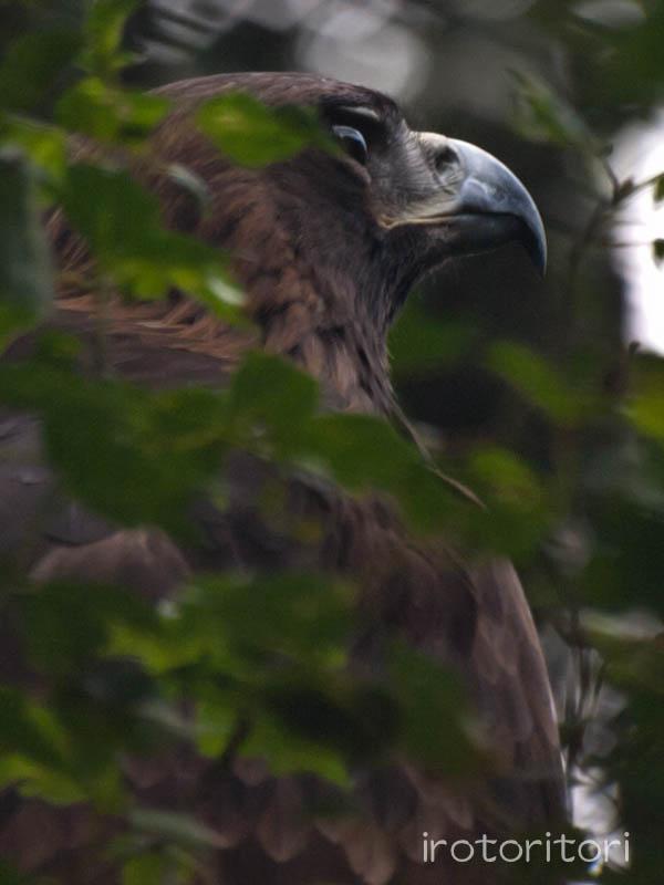 多摩動物園 イヌワシ  2011/10/27_d0146592_22525998.jpg