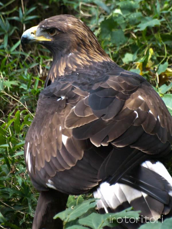 多摩動物園 イヌワシ  2011/10/27_d0146592_22531397.jpg