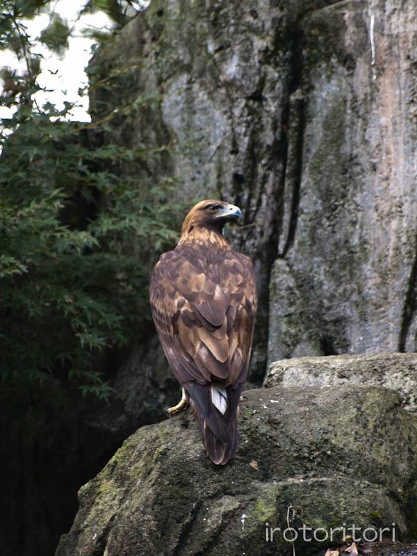 多摩動物園 イヌワシ  2011/10/27_d0146592_22533745.jpg