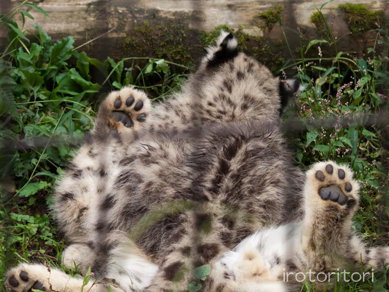 多摩動物園 イヌワシ  2011/10/27_d0146592_22541955.jpg