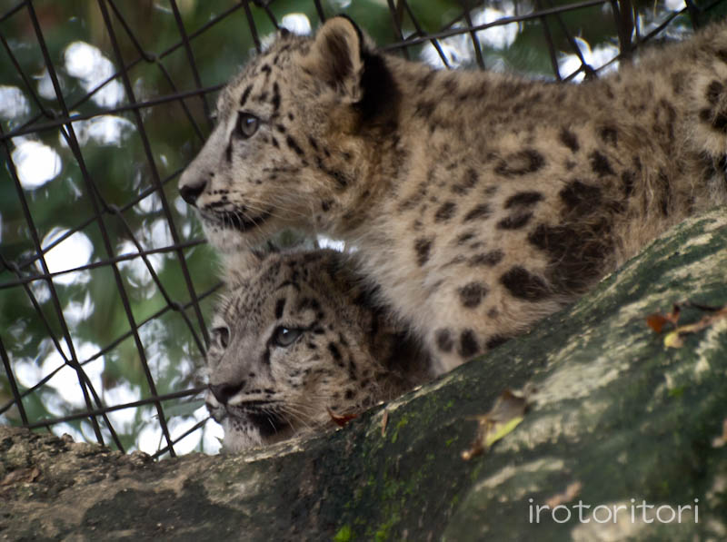 多摩動物園 イヌワシ  2011/10/27_d0146592_2254818.jpg