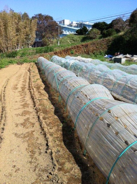 昨日播種した畝は穴空きトンネルに張替えます_c0222448_12524667.jpg