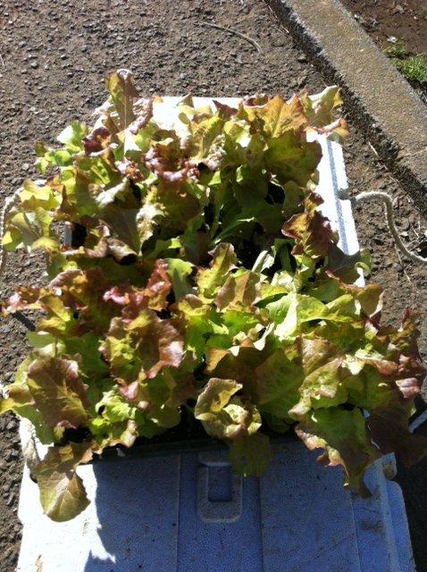 今朝は箱蒔きして育ったサニーレタスの定植&長ネギとリーキの土寄せです_c0222448_1282971.jpg