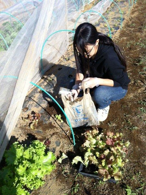 今朝は箱蒔きして育ったサニーレタスの定植&長ネギとリーキの土寄せです_c0222448_1283580.jpg