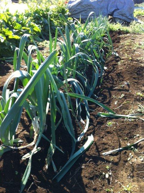 今朝は箱蒔きして育ったサニーレタスの定植&長ネギとリーキの土寄せです_c0222448_1284928.jpg
