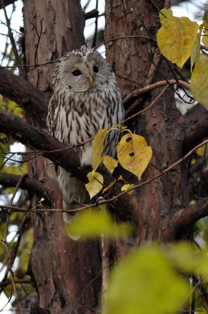 秋色のフクロウ:2ショットも!_b0165760_18505779.jpg