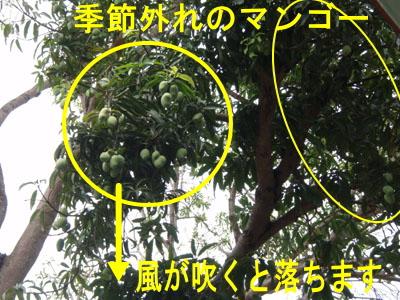 10月29日 季節外れのマンゴー & ダイビングの季節_d0086871_16273158.jpg