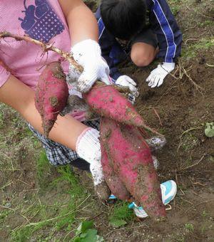 大根の間引きとさつま芋収穫_c0218303_223217100.jpg