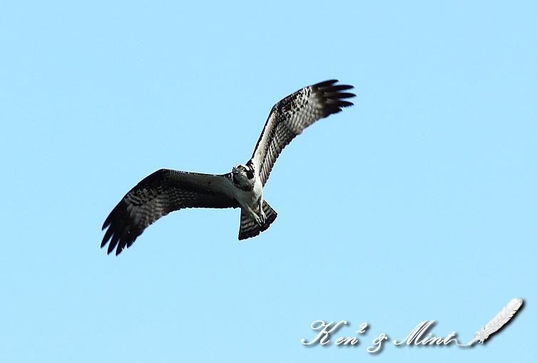 青空を舞う♪「ミサゴ」の飛翔♪_e0218518_1922948.jpg