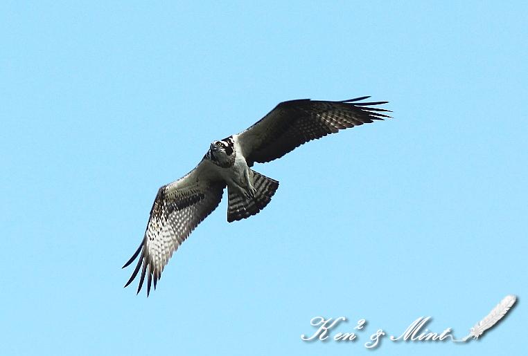 青空を舞う♪「ミサゴ」の飛翔♪_e0218518_1924767.jpg