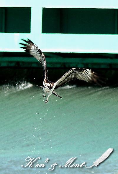 青空を舞う♪「ミサゴ」の飛翔♪_e0218518_1932059.jpg