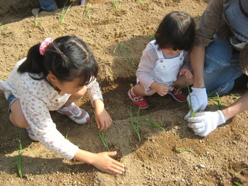 玉ねぎの苗の植え付け_f0079749_9351732.jpg
