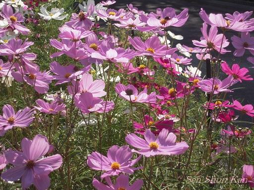 植物園 バラと菊とコスモスと_a0164068_14393640.jpg