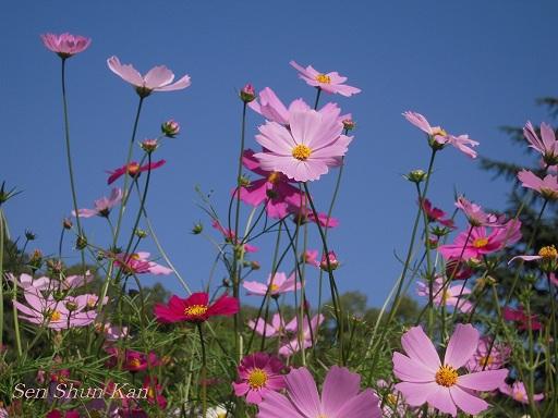 植物園 バラと菊とコスモスと_a0164068_14395385.jpg