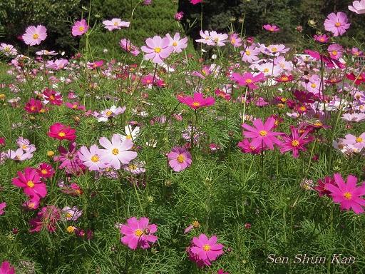 植物園 バラと菊とコスモスと_a0164068_14401087.jpg