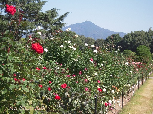 植物園 バラと菊とコスモスと_a0164068_14403497.jpg
