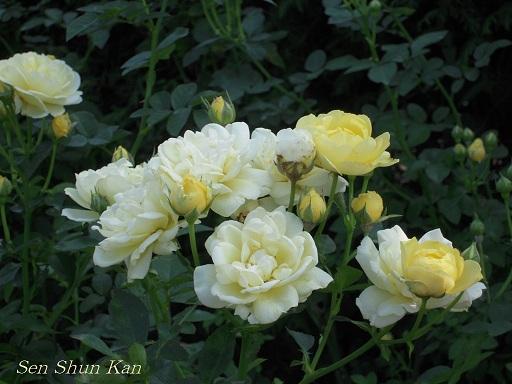 植物園 バラと菊とコスモスと_a0164068_1441116.jpg
