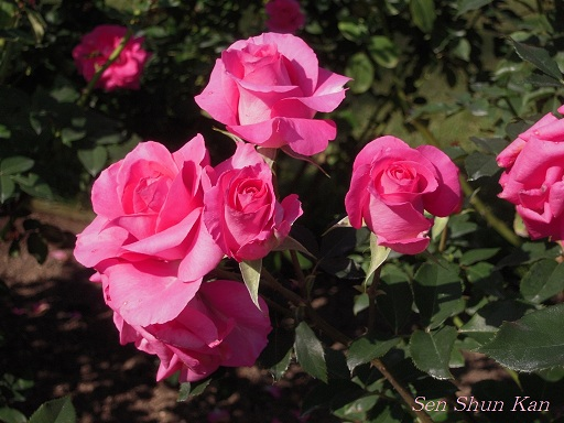 植物園 バラと菊とコスモスと_a0164068_14413112.jpg