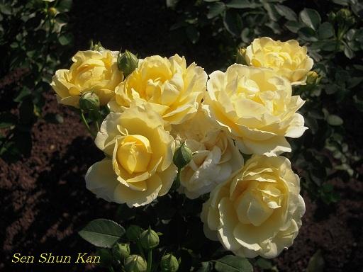 植物園 バラと菊とコスモスと_a0164068_14414623.jpg