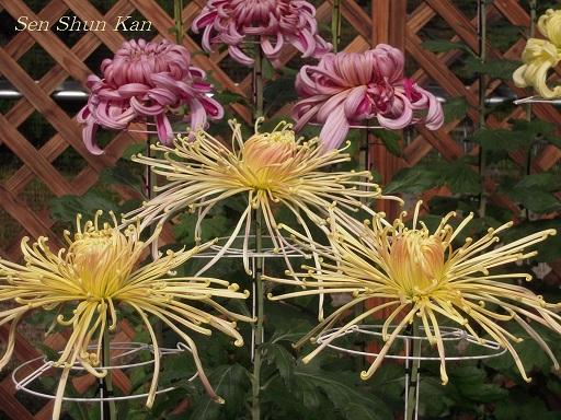 植物園 バラと菊とコスモスと_a0164068_14422576.jpg