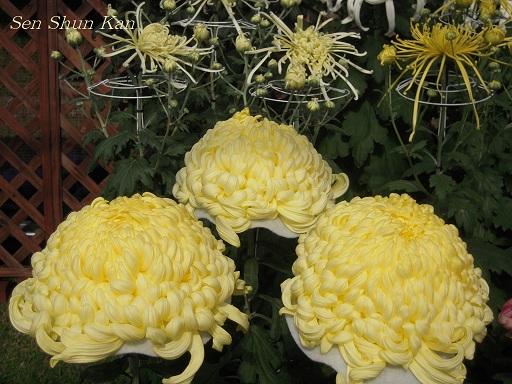 植物園 バラと菊とコスモスと_a0164068_14424449.jpg