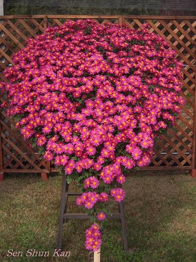 植物園 バラと菊とコスモスと_a0164068_14425959.jpg