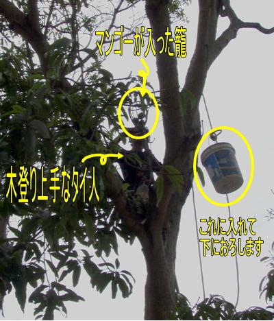 10月30日 マンゴーの収穫 _d0086871_19501569.jpg