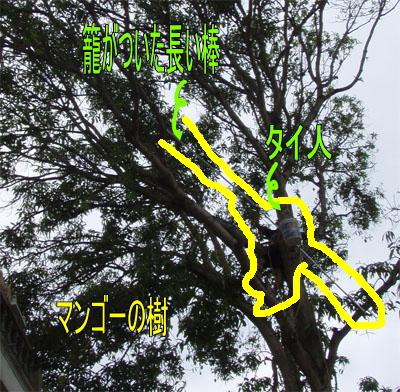 10月30日 マンゴーの収穫 _d0086871_19524513.jpg