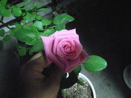 バラの花輪がどんどん大きくなっていく_f0186787_17455748.jpg