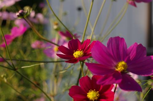 風を見る花、秋桜 (コスモス)_c0075701_16281738.jpg