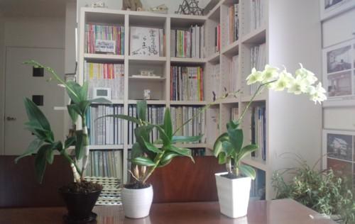 """玄関先を華やかに♪…"""" 伊都菜彩""""で定期的にランの花を購入!ワンコインで2度楽しめます♪_d0082356_1573216.jpg"""