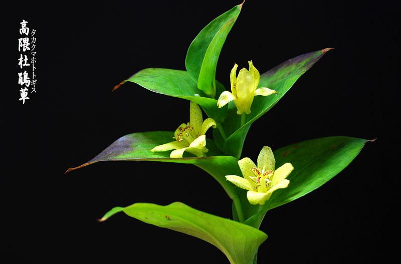 黄色いホトトギスの花