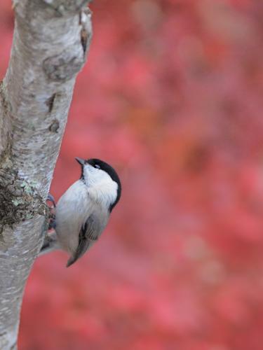 紅葉の小鳥たち(2)_a0204089_6593652.jpg