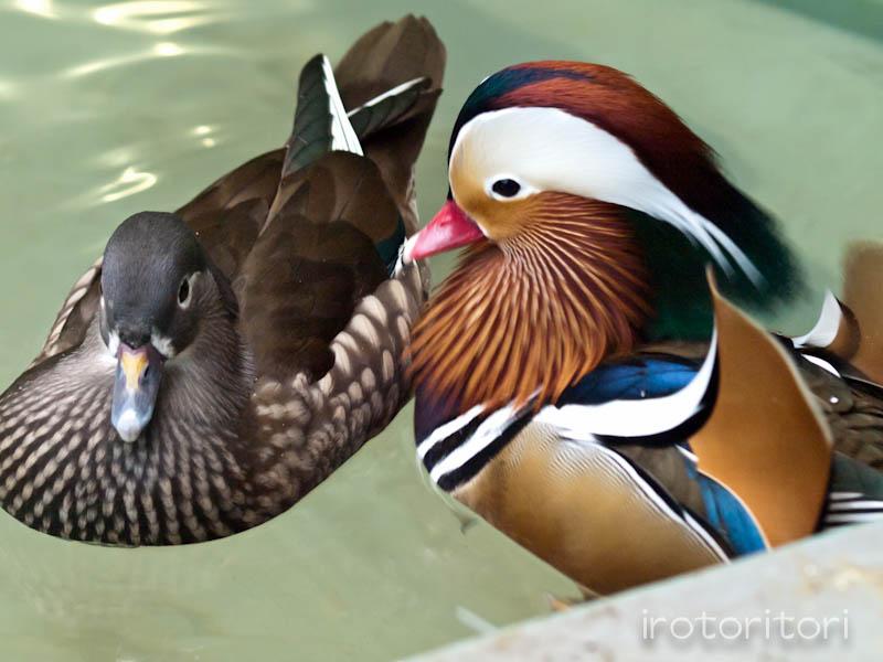 多摩動物園 オシドリ  2011/10/30_d0146592_06938.jpg