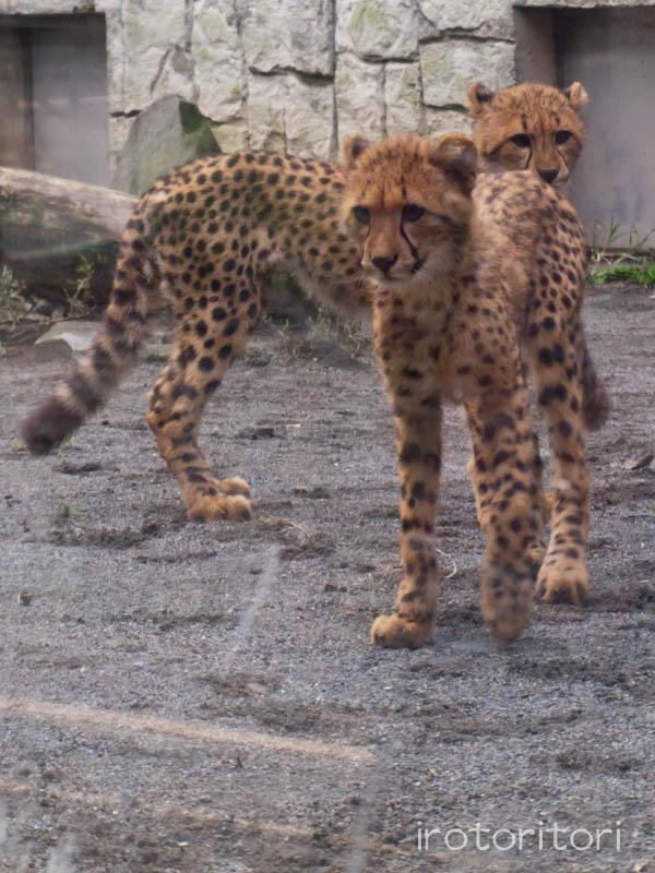 多摩動物園 オシドリ  2011/10/30_d0146592_071862.jpg