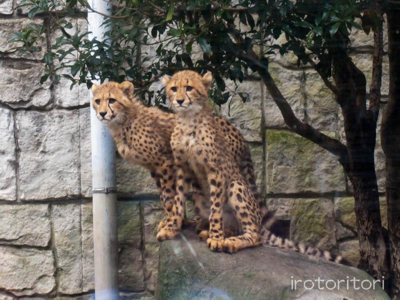 多摩動物園 オシドリ  2011/10/30_d0146592_073570.jpg