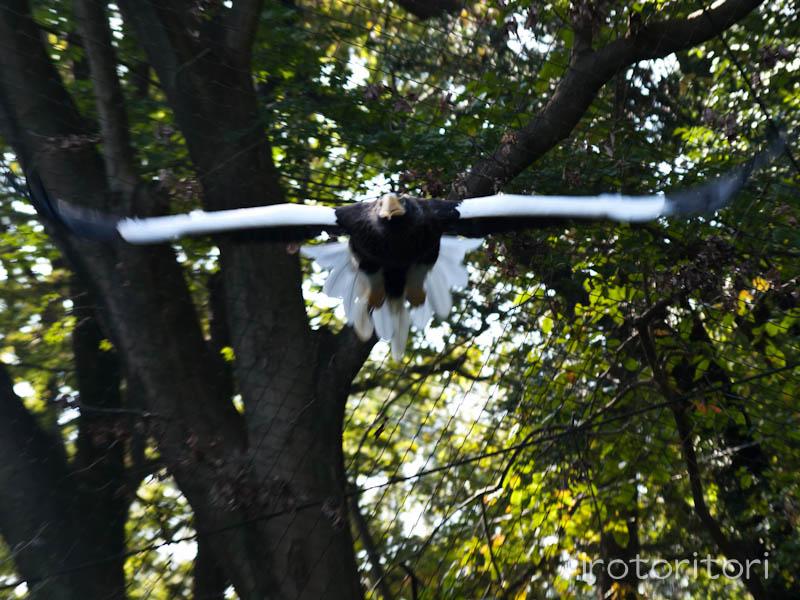 多摩動物園 オオワシ  2011/10/31_d0146592_2311539.jpg