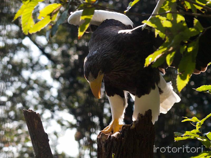 多摩動物園 オオワシ  2011/10/31_d0146592_23123219.jpg