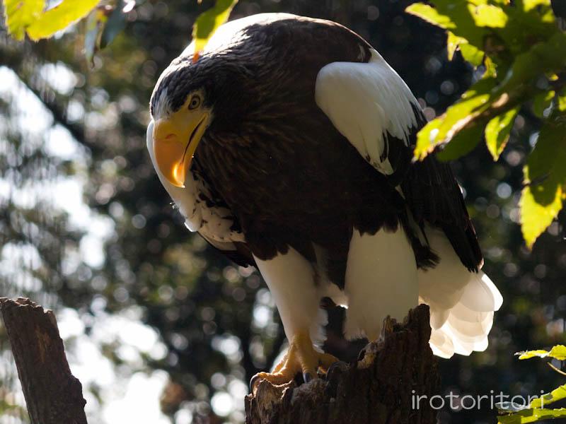 多摩動物園 オオワシ  2011/10/31_d0146592_23124586.jpg