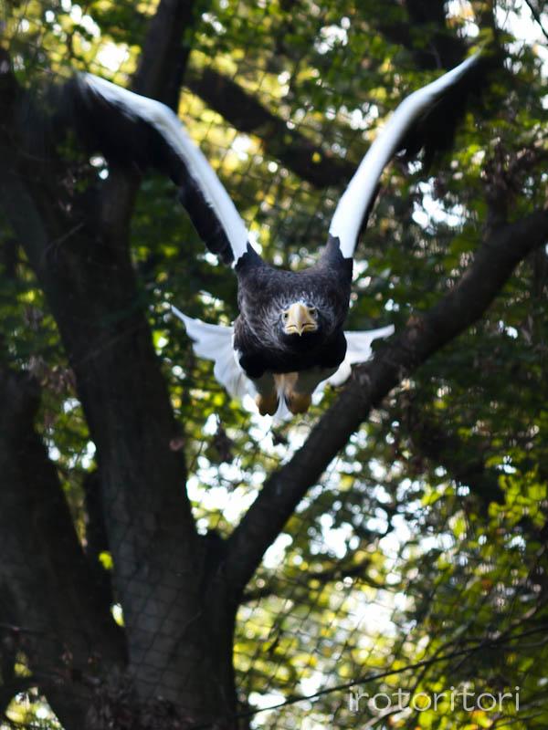 多摩動物園 オオワシ  2011/10/31_d0146592_2312462.jpg