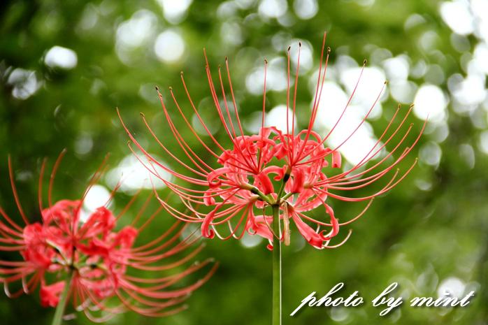 曼珠沙華の里「巾着田」赤いジュータンが綺麗♪_e0218518_22111553.jpg