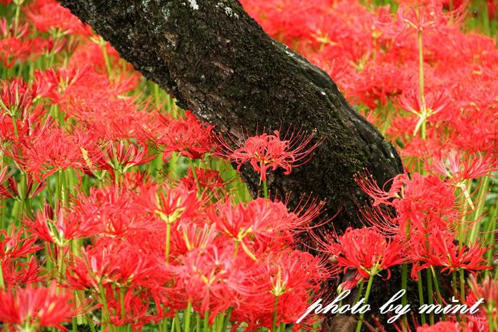 曼珠沙華の里「巾着田」赤いジュータンが綺麗♪_e0218518_22112275.jpg